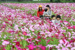 満開となったコスモス畑のあぜ道を歩く親子連れ=神埼市のJR神埼駅前