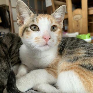 <里親募集> 猫 生後約半年の雑種(ハチワレ雄1、白キジ雄1、ミケ雌1)