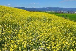 城原川の土手を鮮やかに染める菜の花=神埼市神埼町永歌(11日撮影)