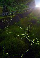 ホタル求愛の光 小城市の祇園川