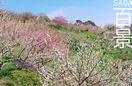 SAGA百景 小城に一足早い春を告げる牛尾梅林