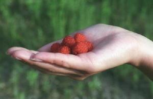 真っ赤に熟した野いちご(クサイチゴ)。学校帰りのおやつでもあった=佐賀市鍋島町(フィルムで撮影)