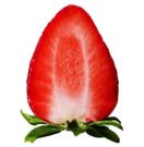 ブランド名「いちごさん」 県産イチゴ新品種
