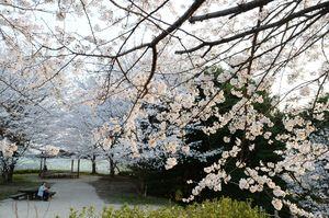 満開に近づいた桜が山肌のあちこちをピンク色に染める=佐賀市金立町の金立公園