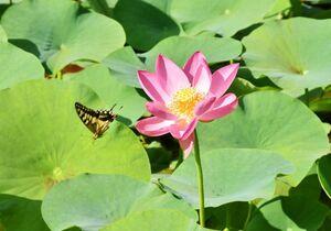 開花した二千年ハスの回りをチョウが舞う=多久市多久町の聖光寺