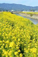 土手を一面埋め尽くすように咲く菜の花=小城市小城町の晴気川