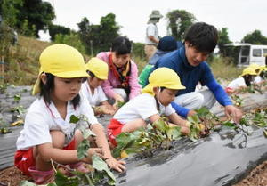 若手農家や唐津南高の生徒とともに「からゆたか」の苗を植え付ける園児たち=唐津市鎮西町石室