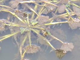 白絹病に感染し、葉が茶色に変色したヒシの葉(神埼市提供)