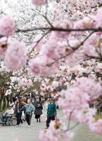 高齢者ら桜の通り抜け観賞、大阪