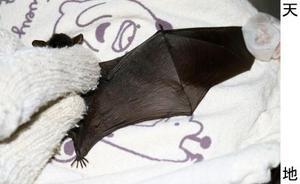 捕獲された絶滅危惧種のヤンバルホオヒゲコウモリ=2月、沖縄県国頭村(京都大研究チーム提供)
