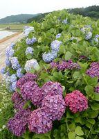 青や紫の花を一面に咲かせたアジサイ=伊万里市松浦町