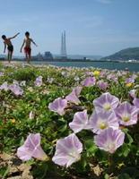 群生していたハマヒルガオ=2012年5月、唐津市の西の浜