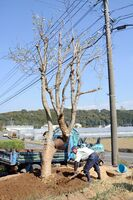 民家の敷地に移植されたハクモクレン=24日、有田町内