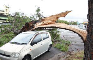 強風の影響で折れた松の木。軽乗用車が下敷きになった=9月30日午後2時半ごろ、佐賀市の県総合運動場内駐車場
