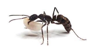 幼虫を運ぶトゲオオハリアリ(東京大提供)