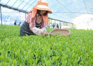 みずみずしい新芽が一面に広がる三根孝之さんのハウス茶園=嬉野市嬉野町