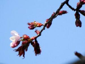 北海道釧路市で開花が確認されたエゾヤマザクラ=8日(釧路地方気象台提供)