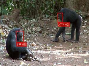 AIで個体識別された野生のチンパンジー(松沢哲郎特別教授提供)