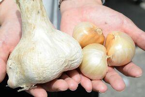 ジャンボニンニク「吉野ガーリック」。通常のニンニクに比べて5~6倍ほどの大きさがある