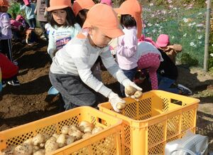 収穫したジャガイモをコンテナに入れる園児=有田町南山の畑