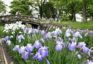 水路沿いに紫や白の花を咲かせているハナショウブ=佐賀市の蓮池公園