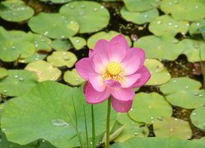 葉の間から、美しいピンクの花をのぞかせる「二千年(大賀)ハス」