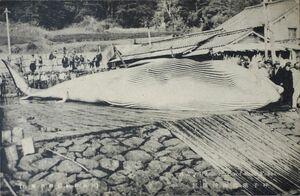 絵はがき「呼子港近海捕獲鯨」(昭和期、写真は昭和5年撮影)