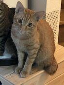 <迷子です>2歳の雑種猫(茶トラ・雄)