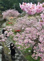 濃いピンク色の花を咲かせ、見ごろを迎えた河津桜=唐津市相知町