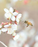 陽気に誘われるように梅の花の周りを飛び交うミツバチ=佐賀市鍋島の増田天満宮