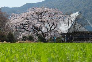見ごろを迎えた宝珠寺のヒメシダレザクラ=神埼市神埼町