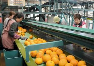 低温貯蔵していた呼子甘夏を選果する作業員=唐津市鎮西町のJAからつ上場選果場