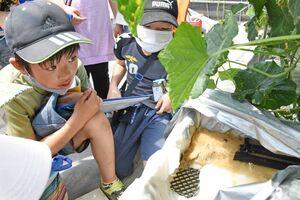 白い根(右下)を張った水耕栽培のキュウリを観察する児童