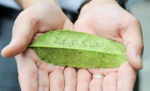 葉に傷を付けると黒い跡が残り、文字が書ける