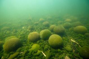 阿寒湖のマリモ、成長の謎解明