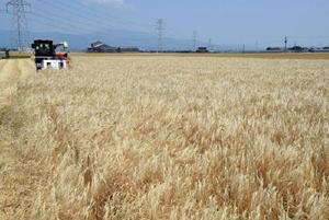 収穫期を迎えた麦畑。農業は江戸期も佐賀の基盤産業だった=三養基郡みやき町市武