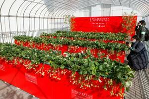 大阪市の「あべのハルカス」でイチゴ狩りが楽しめる「いちごの庭プロジェクト」=3日午前