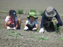 芋苗を植え付ける参加者