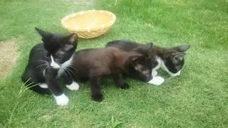 <譲ります>猫 生後2カ月の雑種(黒・雌1、黒・白雄2)