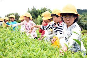 茶の葉を摘み取る東脊振小の児童たち=吉野ヶ里町松隈