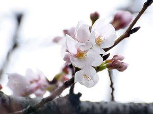 開花した佐賀地方気象台の標本木のソメイヨシノ=20日午前、佐賀市駅前中央