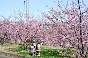 ピンク色のかれんな花を咲かせる河津桜=有田町原明の深川製磁チャイナ・オン・ザ・パーク