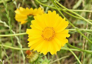 特定外来生物のオオキンケイギク。5~7月に黄色い花を付ける
