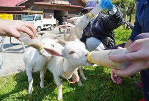 おいしそうにミルクを飲む3頭の子ヤギ。奥から時計回りに「ちゃちゃ」「バニラ」「とろろ」=佐賀市三瀬村のどんぐり村