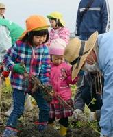 農業体験でサトイモやカライモの収穫に精を出す子どもたち=佐賀市本庄町