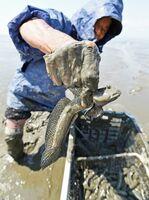 干潟に仕掛けたわなで捕まえたムツゴロウ。間もなく繁殖期を迎える=佐賀市東与賀町の東よか干潟