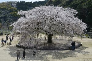 見ごろを迎えている「衣干百年桜」=唐津市の衣干山さくら公園