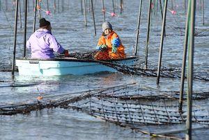 40年ぶりの不作の見通しとなったノリの生産現場=2018年12月、佐賀市川副町沖の有明海