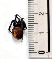 佐賀市内で見つかったセアカゴケグモのメスの死骸