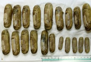 有明海で育ったアゲマキ。6月から一部で漁の解禁が決まった(佐賀県有明水産振興センター提供)